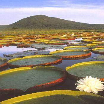 Vitória Régia, Pantanal - Brazil. The beauty and colors of this common plant ...#beauty